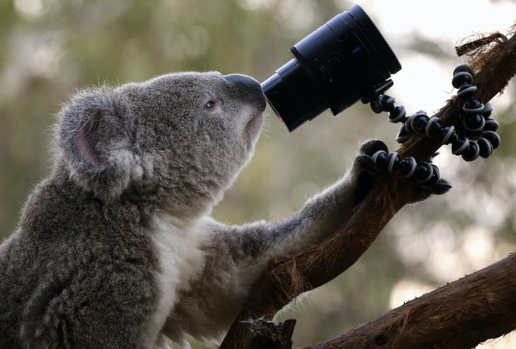 An Australian Koala looks at a camera as it sits atop a branch in its enclosure at Wild Life Sydney Zoo April 3, 2014. Images from the camera, which are triggered by the koala's movements, are displayed on a nearby small screen which the zoo is promoting as a koala 'selfie'. REUTERS/David Gray (AUSTRALIA - Tags: ANIMALS ENVIRONMENT SOCIETY SCIENCE TECHNOLOGY TPX IMAGES OF THE DAY) - GM1EA430R8F01